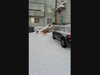 Народный корреспондент: «В Печоре стая бездомных собак держит дом в осаде»