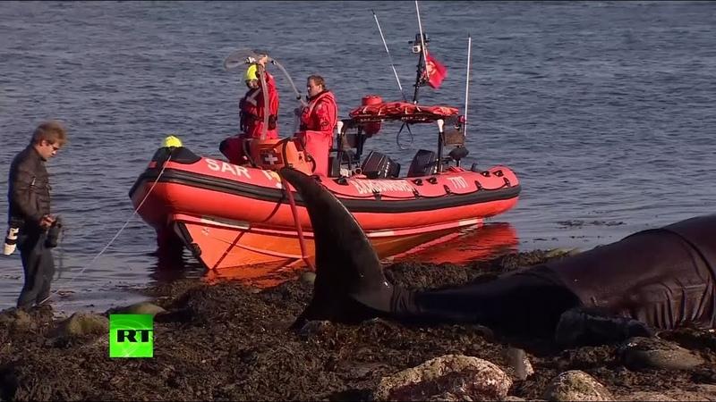 Видео спасения афалин выброшенных на берег в Исландии смотреть онлайн без регистрации
