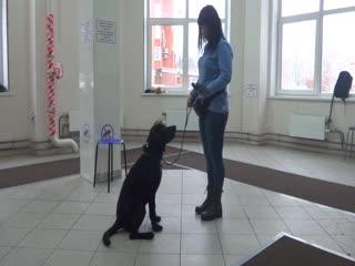 Лилия и лабрадор Цезарь. Занятие по дрессировке (начальное послушание): обучение собаки команде Ко мне. Тольятти, 9 декабря 2018