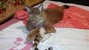 Клео мутузит своего тигрёнка