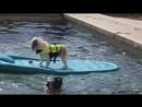 Смешные собаки-Приколы про животных 20164