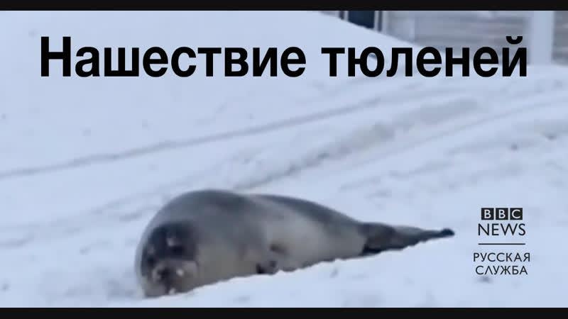 Наводнение тюленей