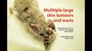 Опухоли кожи у 20 месячного карликового хомяка Часть 1 The 20 month old dwarf hamster's skin tumours grow much bigger over one year Pt 1