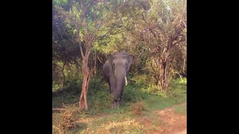 Настоящая (дикая) жизнь Шри-Ланки. Не зоопарк. Национальный парк