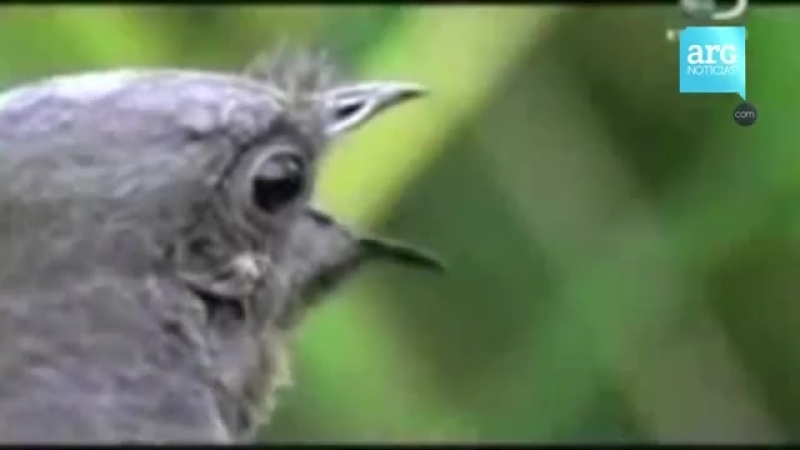 La maravillosa Ave Lira el pájaro que imita