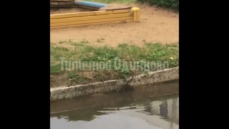 Крыса на детской площадке в центре Одинцлал