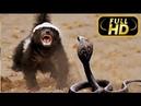 Жизнь Одного Медоеда. Медоед Против Змеи / FULL HD - Документальный фильм на Amazing Animals TV