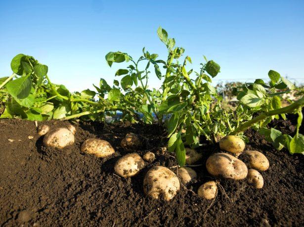Посадка картофеля по методу картелева