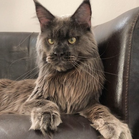 "Maine Coon Romeo🦁 Michelino 🐺 on Instagram: ""michelino моялюбовь iventus_mainecooncattery amore mio love"""