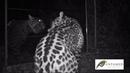 Jaguar V Mirror Panthera onca Pariamanu River