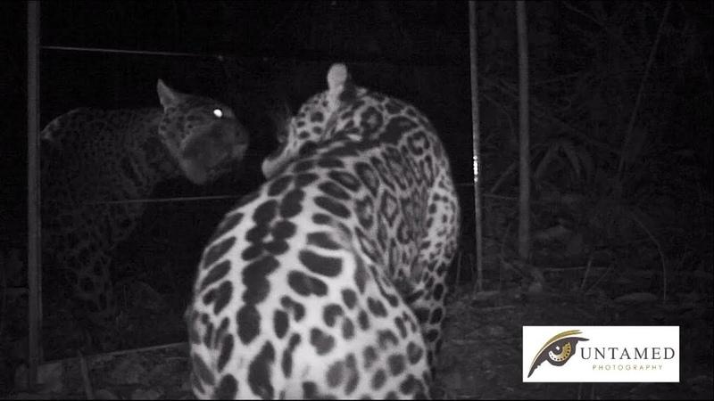 Jaguar V Mirror (Panthera onca) Pariamanu River