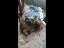 котенок сосет титьку у собаки
