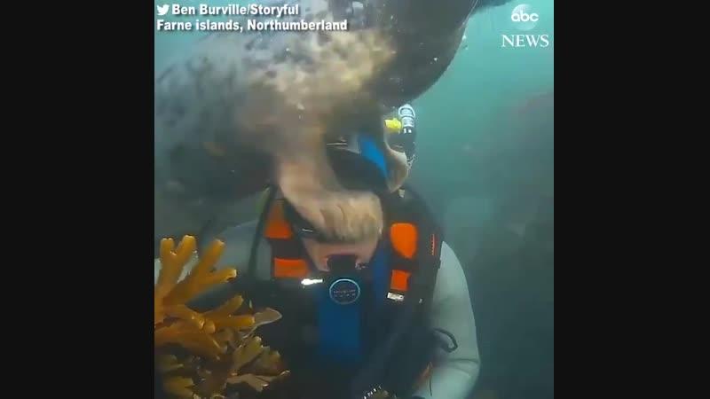 Добродушный тюлень подружился с дайвером в Великобритании