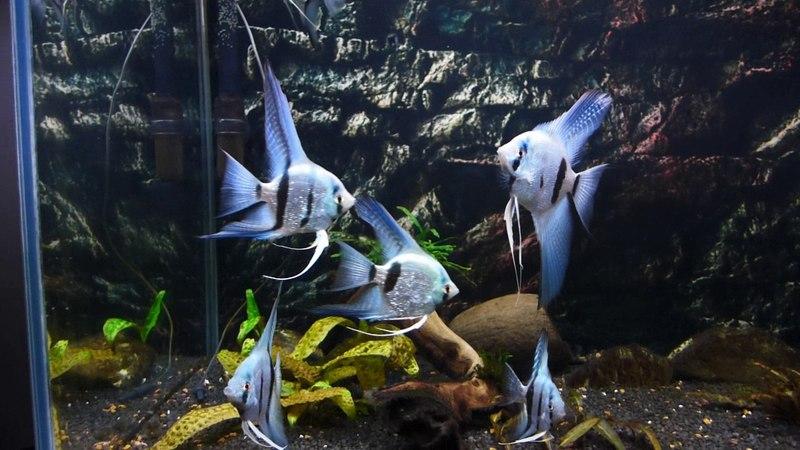 Скалярия голубой Ангел жемчужная Blue Silver Diamond Angelfish