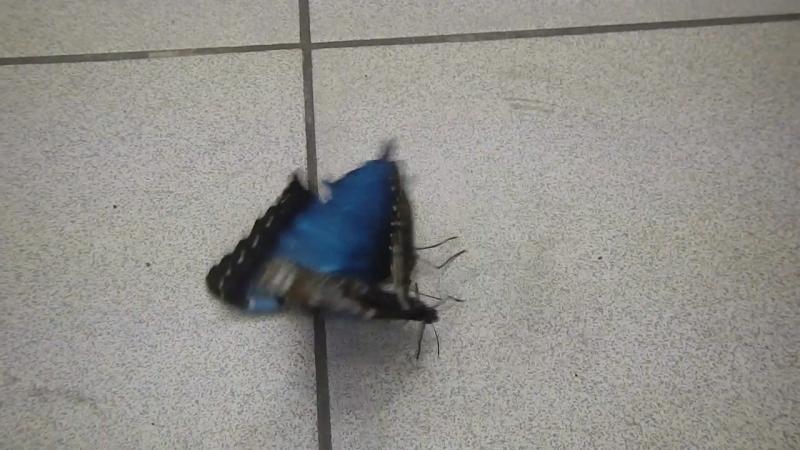 Самец голубой морфы расшевеливает самочку