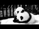 милые пандочки милые пандачки