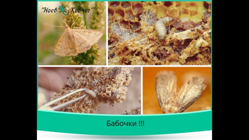 Пчелиная моль - бабочки !