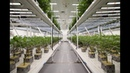 Fluence Grow Lights at Franklin BioScience Cannabis Vertical Farm