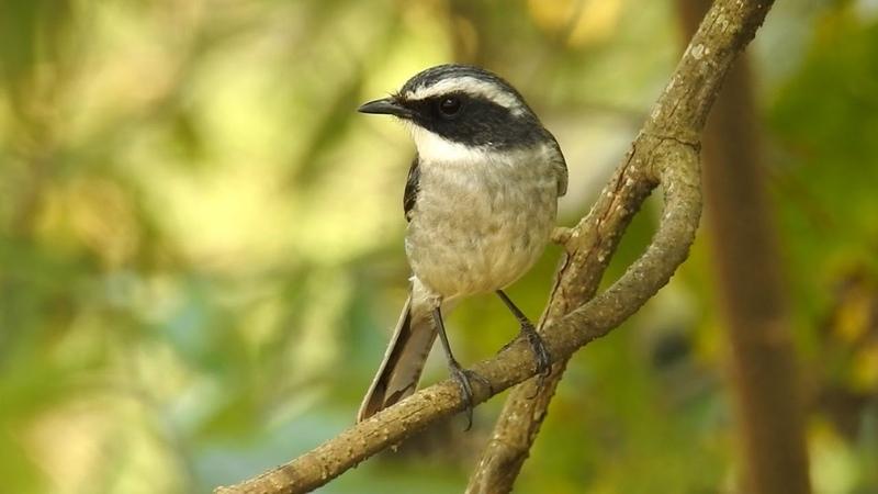 Grey bush chat / Серый чекан / Saxicola ferrea / Saxicola ferreus