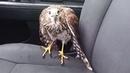 A Hawk is seeking refuge in my taxi from Hurricane Harvey