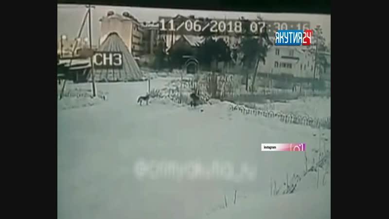 Бродячие собаки пугают жителей Якутска