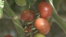 Ставропольские помидоры покоряют европейский рынок
