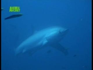 BBC_Animal Planet_Умные Акулы. Плаванье с Акулой-Роботом