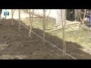 В центре Омска вместо старых тополей высадили 30 лип