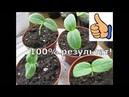 Как вырастить рассаду огурцов за 3 дня.Как посеять огурцы.100 результат без хлопот!часть1