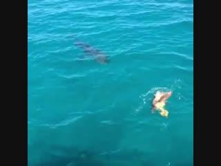 Черепаха защищается от акулы с помощью панциря