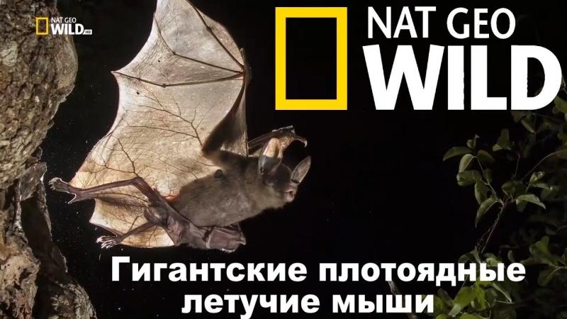Nat Geo Wild Гигантские плотоядные летучие мыши 2017 Avaros