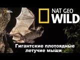 Nat Geo Wild: Гигантские плотоядные летучие мыши (2017) /Avaros/