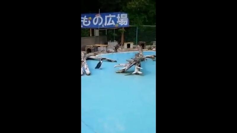 Пингвин, преследующий бабочку, попал на видеокамеру в японском зоопарке