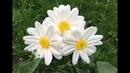 Большие ростовые цветы Бесплатный мастер класс ромашка DIY Camomile