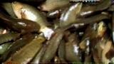 Vietnam koi fish climbing perch packaging counting transporting