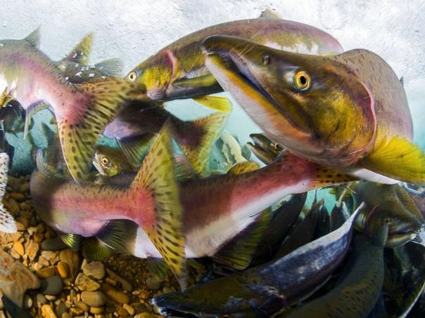 Нерест красной рыбы