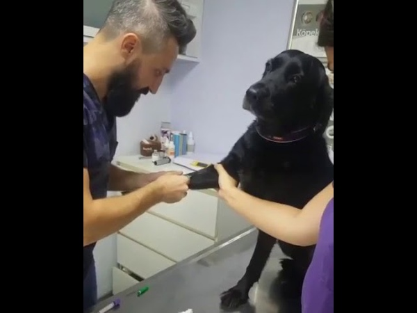 Dog Stays Calm While Getting a Shot at the Vet - 1013874