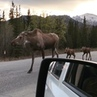 Beyond The Backpack 🌐 on Instagram Ever seen a moose in the wild before Apparently when in Alaska you can spot them taking a casual stroll down