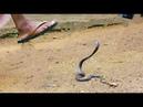 Khả năng phi thường của con người mỗi lân bị rắn tấn công - Thanh niên không sợ rắn