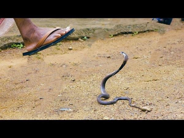 Khả năng phi thường của con người mỗi lân bị rắn tấn công Thanh niên không sợ rắn