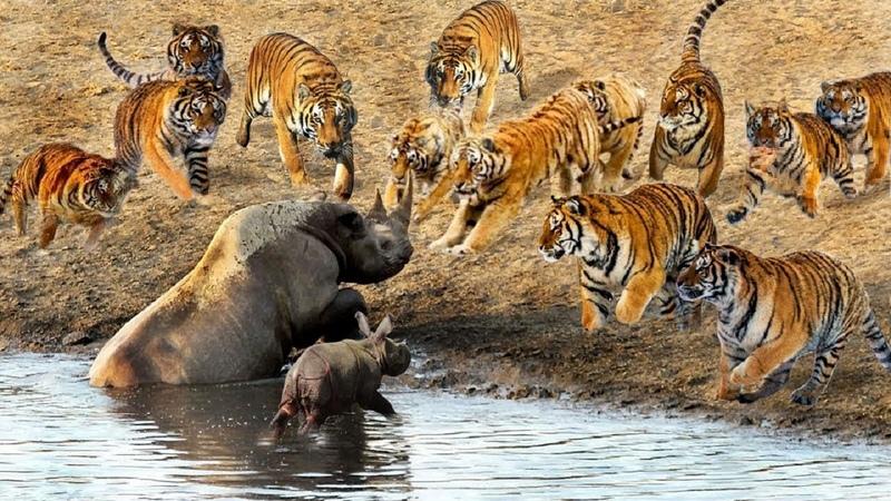 POWER Of The RHINO in the World Rhino vs Hippo Lion Buffalo ULTIMATE FIGHT