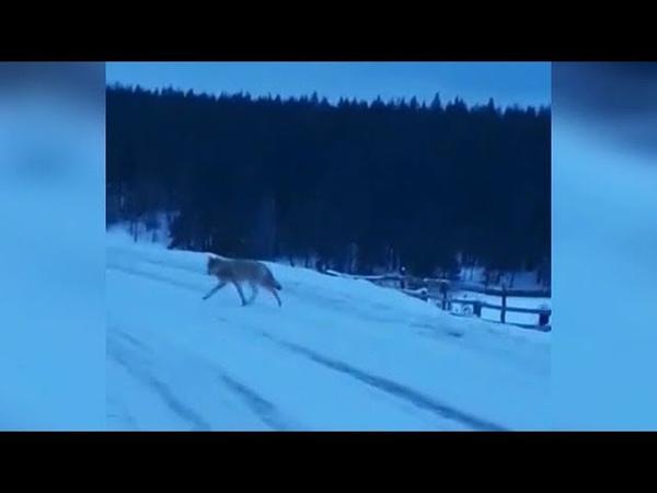 Стая волков подбирается к сельчанам Белебеевского района