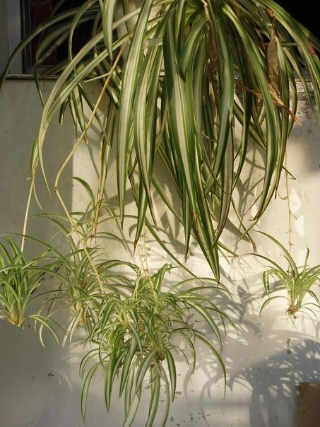хлорофитум хлорофитум (chlorophytum)- многолетний травянистый куст с зелеными или бело-зелеными узкими листьями, со свисающими воздушными усами с маленькими кустиками новых растений на них есть