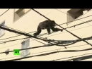 Dramatic high-altitude chase as chimp goes on the.mp4