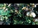 Кленовые листья Осень