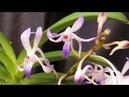 Neostylis lou sneary 'bluebird' выращивание орхидей ванда в стекле на примере неостилис синяя птица