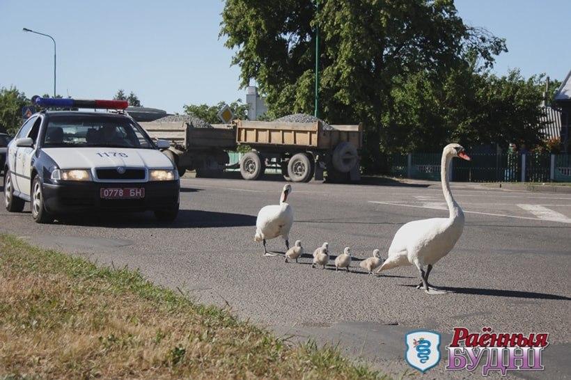 В Пружанах милиция перекрыла движение, чтобы лебедь с лебедятами могли перейти дорогу