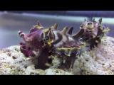 Каракатица-бегемот