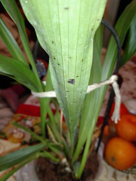 расскажите пожалуйста,что с ней что за черные пятна и как их лечить орхидейка уже год не цветет,нормально ли это и как лучше за ней