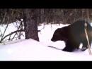 ВЕРСУС РОСОМАХА Её боятся волки и даже медведи